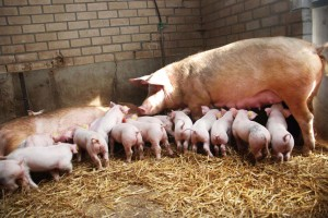 Sow and piglets on straw