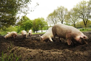 Pigs rooting outdoors