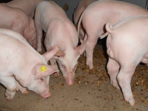 Pigs rooting on the floor