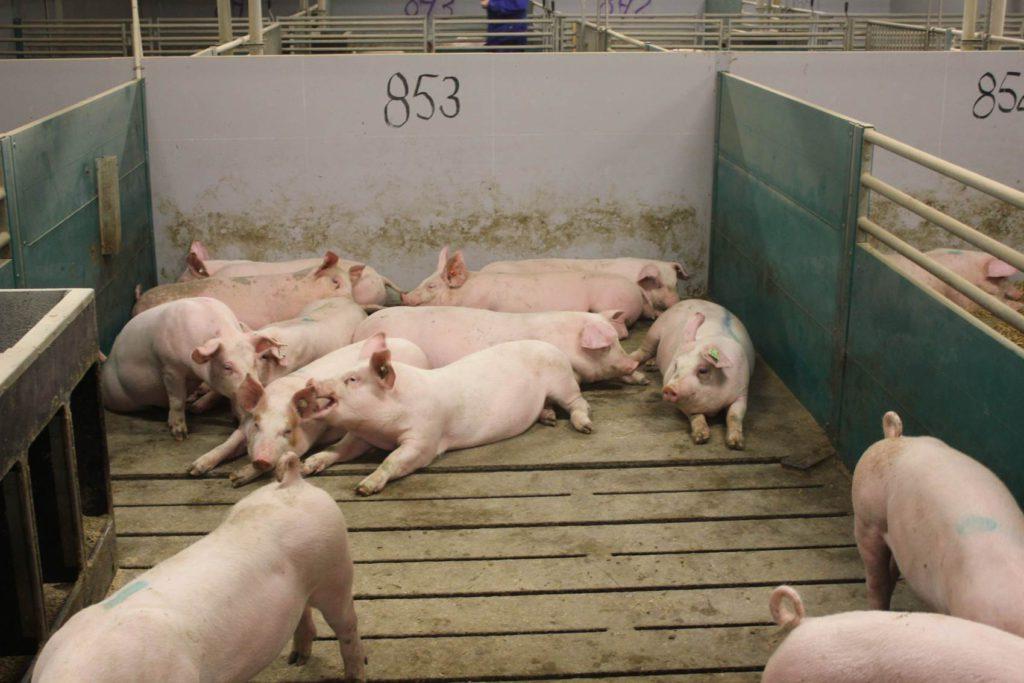 10gr straw/pig/day